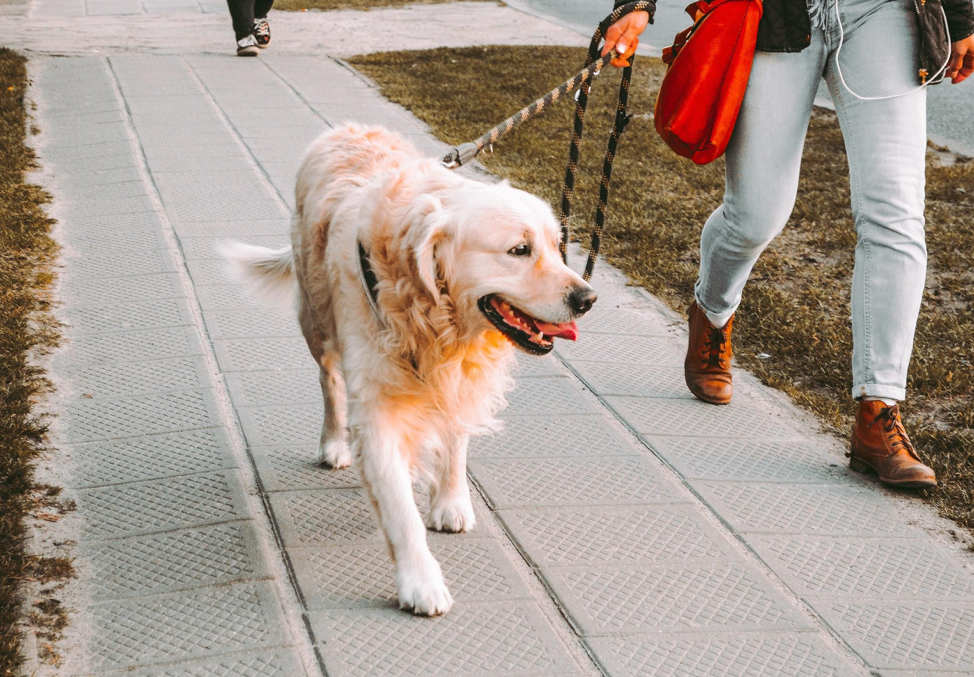 Unleash Your Side Hustle: Dog Walking Fetches Profits
